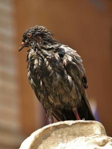 Rome pigeon