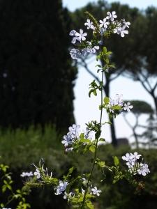 Rome forum flower